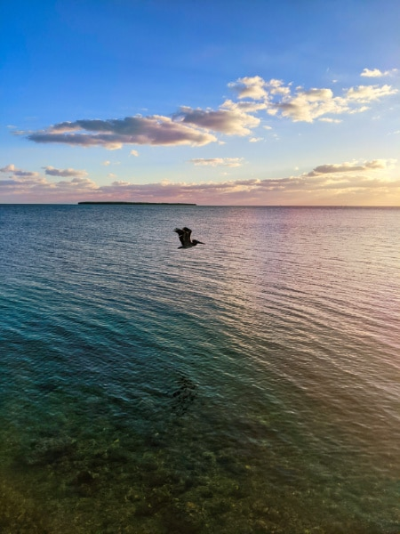 Pelican Flying at Sunset over Shallow Water Key Largo Florida Keys 2020 1