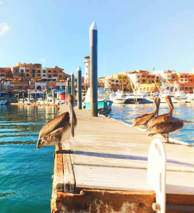 Pelicans on dock at Marina Cabo San Lucas 1