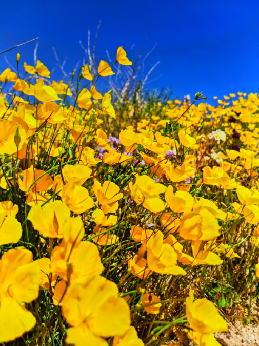 Poppies in superbloom Joshua Tree National Park California 2