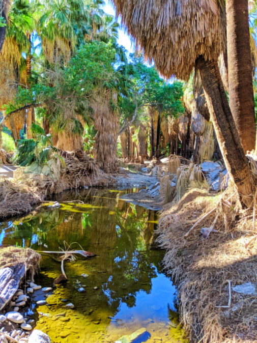 Reflections in palm oasis Palm Canyon Indian Canyons Palm Springs California 3