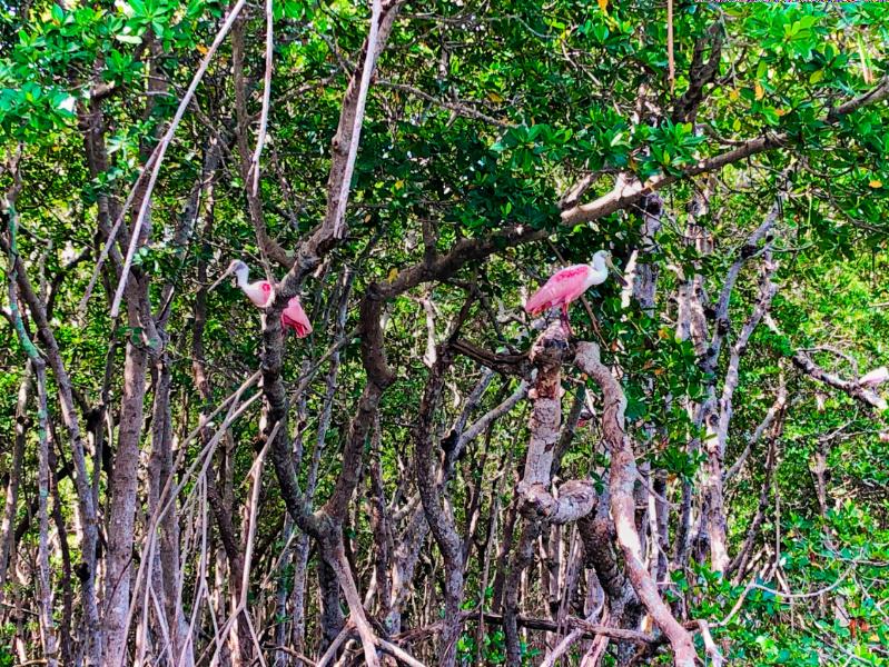 Roseate Spoonbills in Mangroves_Marcea Cazel
