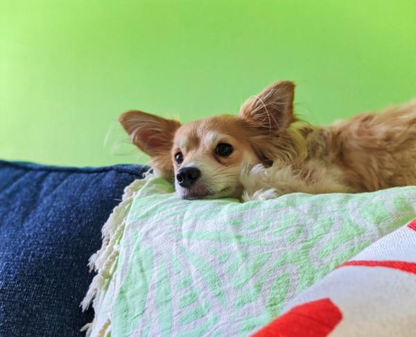 Sheba Dog at Buccaneer Bungalow Vacation Rental 2020 1
