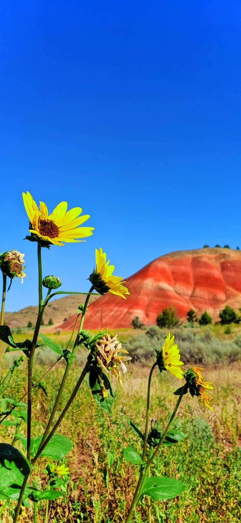 Sunflowers at Oregon's Painted Hills