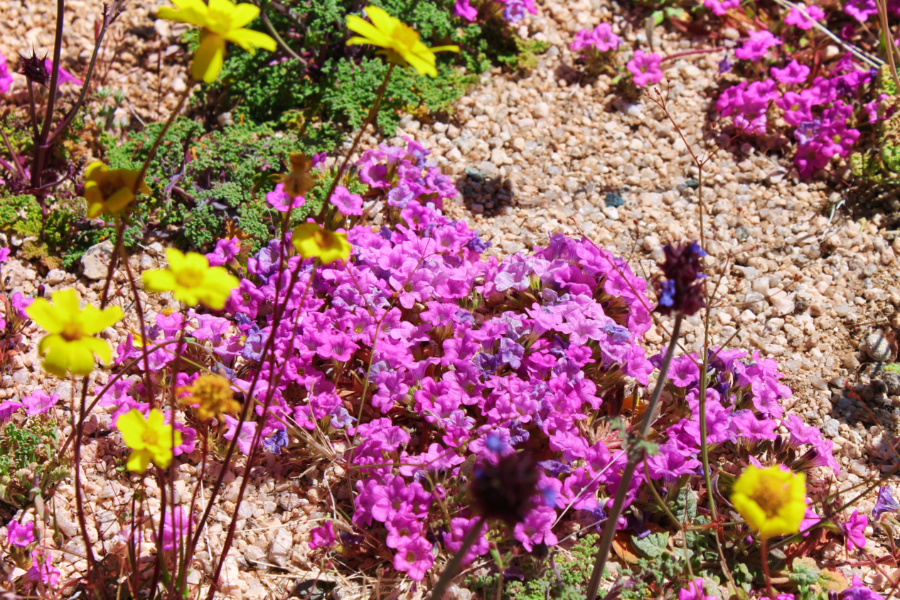 Superbloom in valley at Joshua Tree National Park California 4