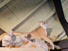 Taxidermy Mountain Lion at Visitor Center Lewis and Clark Caverns State Park Montana 3