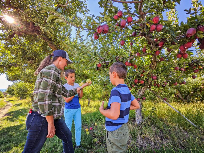 Taylor Family Picking Apples in Orchard at Chelan Valley Farms Manson Lake Chelan Washington 4