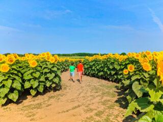 Taylor-Family-at-Sunflower-Maze-at-Von-Bergens-Country-Market-Hebron-Illinois-8-320x240.jpg