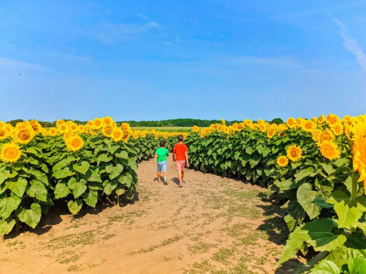Taylor Family at Sunflower Maze at Von Bergens Country Market Hebron Illinois 8