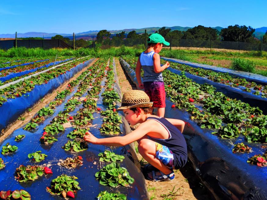 Taylor-Family-at-UPick-Blueberries-Santa-Maria-California-1.jpg