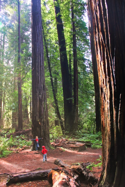 Taylor family hiking with Redwoods at Jeddadiah Smith Redwoods State Park 1