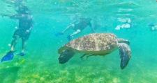 Tourists Swimming with Sea Turtles at Turtle Cove in Akumal Yucatan 18