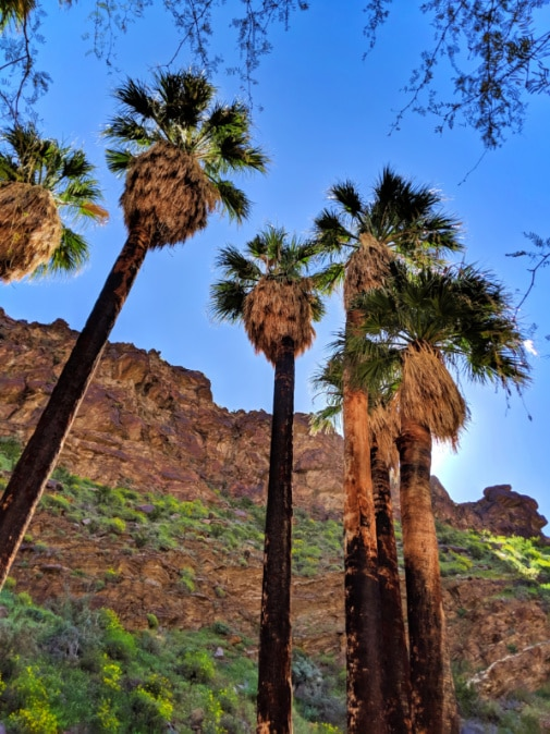 Towering palms in Palm Canyon at Indian Canyons at Palm Springs 2