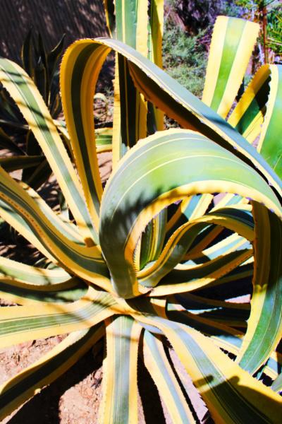 Varigated aloe at Moorten Botanical Garden Palm Springs California 2