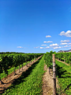 Vineyard rows at Casa Larga Winery Rochester New York 1
