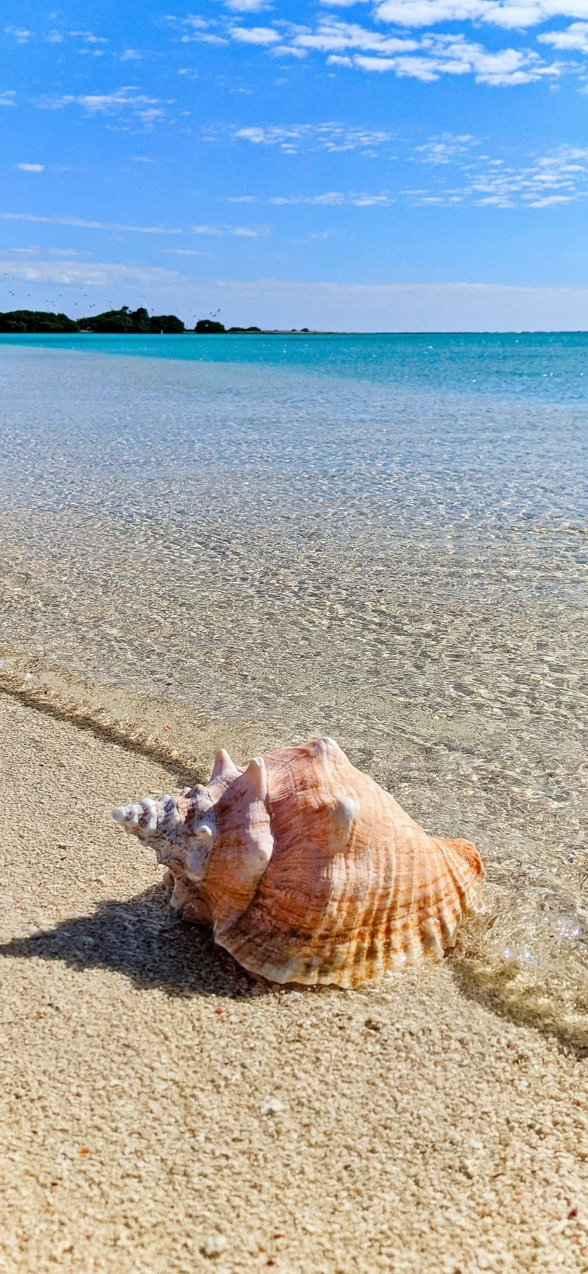 Queen Conch shell on beach at Dry Tortugas National Park, Florida Keys