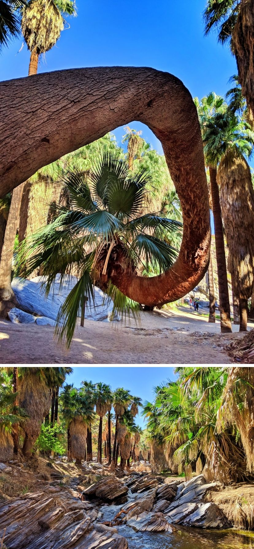 Curved palms in the groves along the oasis stream in Indian Canyons, Palm Springs
