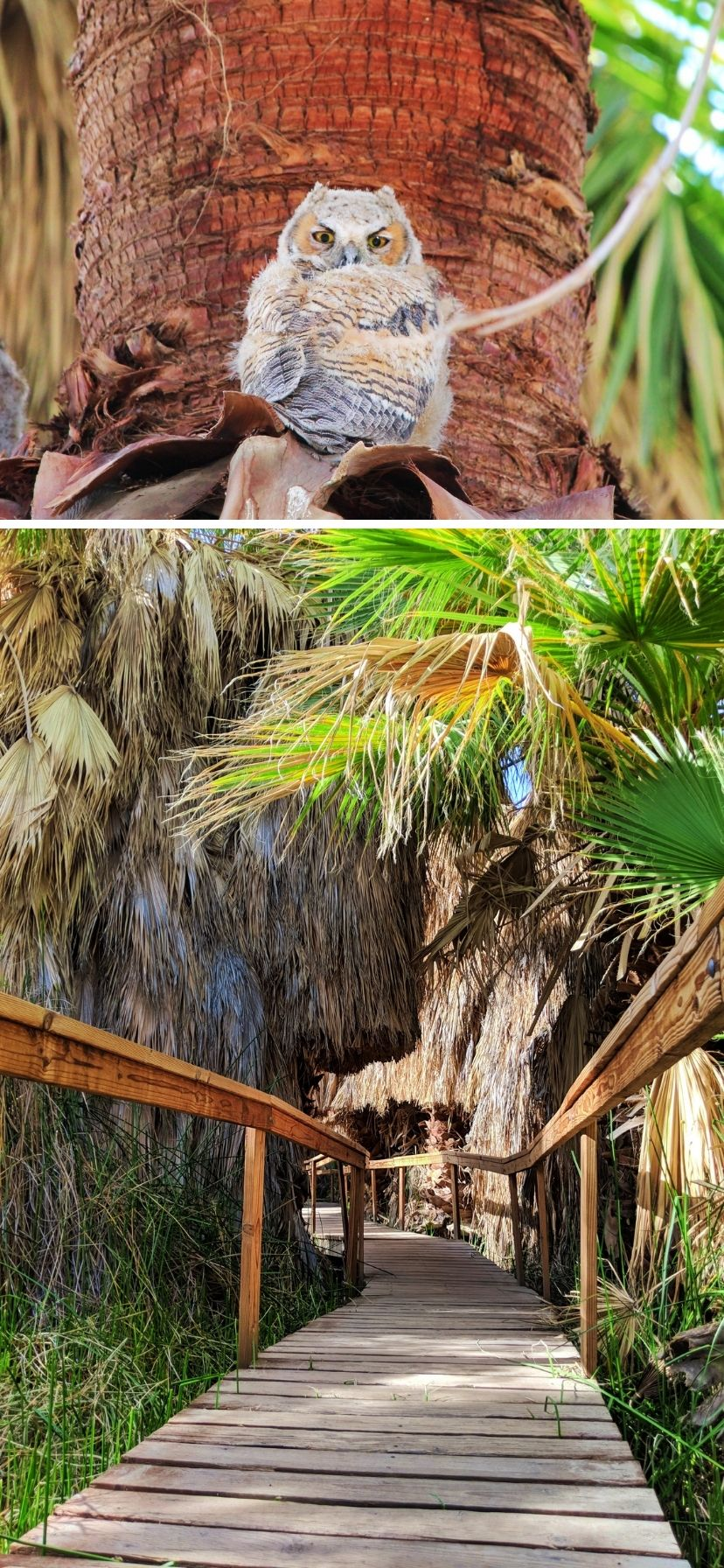 Owl in palm tree above oasis boardwalk in Coachella Valley Preserve, Palm Springs