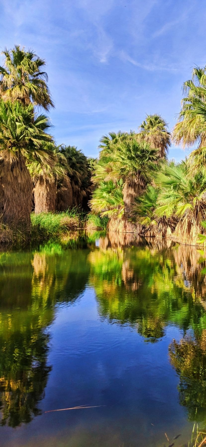 Palm reflections on pond at Coachella Valley Preserve, Palm Springs
