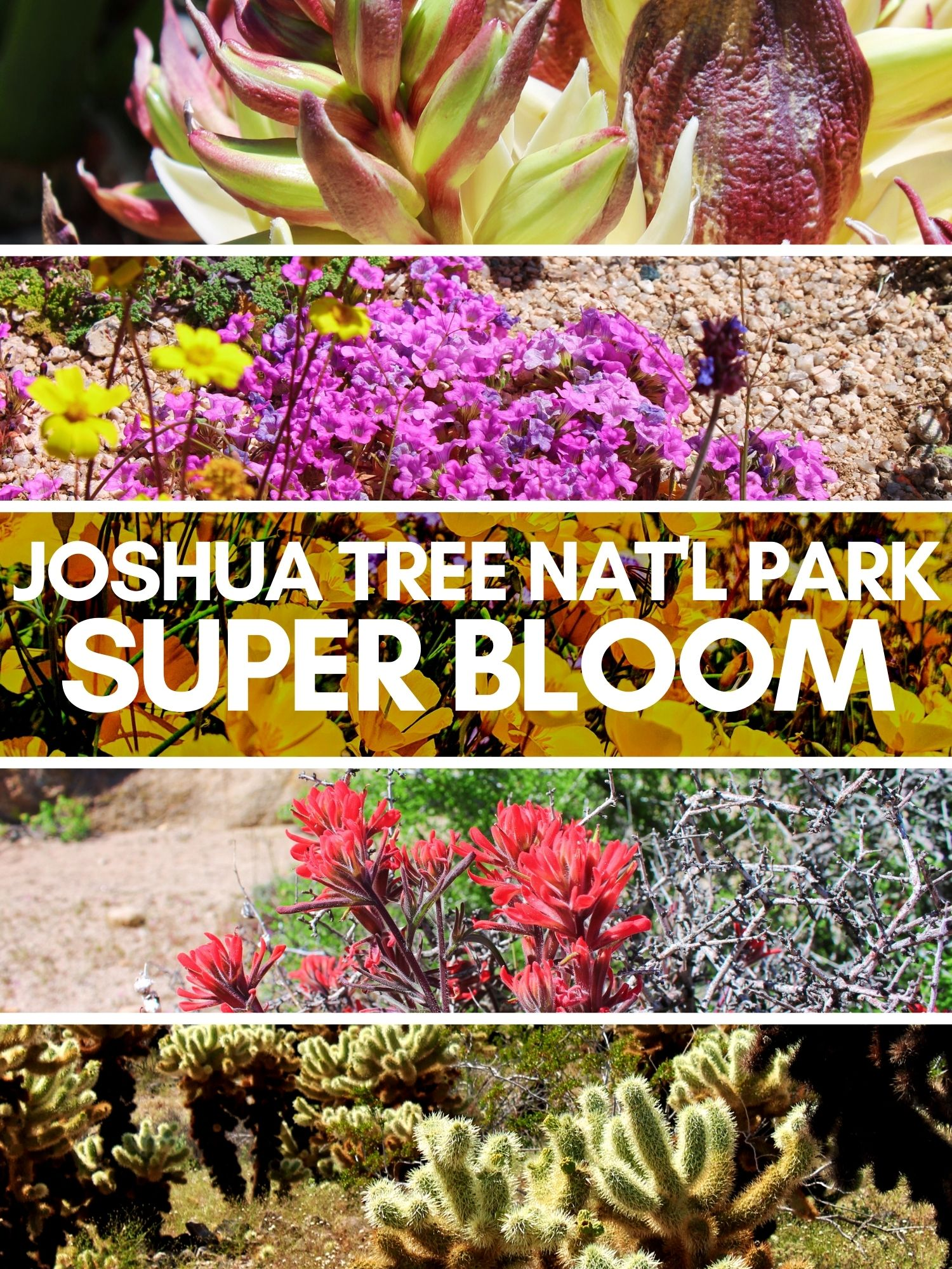 Joshua Tree National Park is incredible during the super bloom. Great for hiking and bouldering year round, Joshua Tree is very unique, particularly when California poppies, yucca and cactus bloom. Hikes, day trip plan and more.