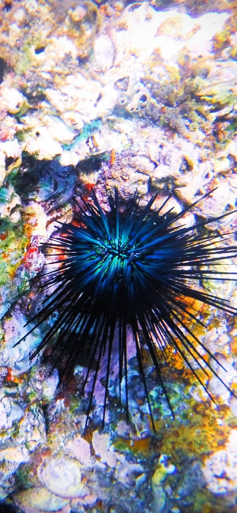 Colorful Sea Urchin at Cannery Beach, snorkeling Cabo San Lucas, Mexico