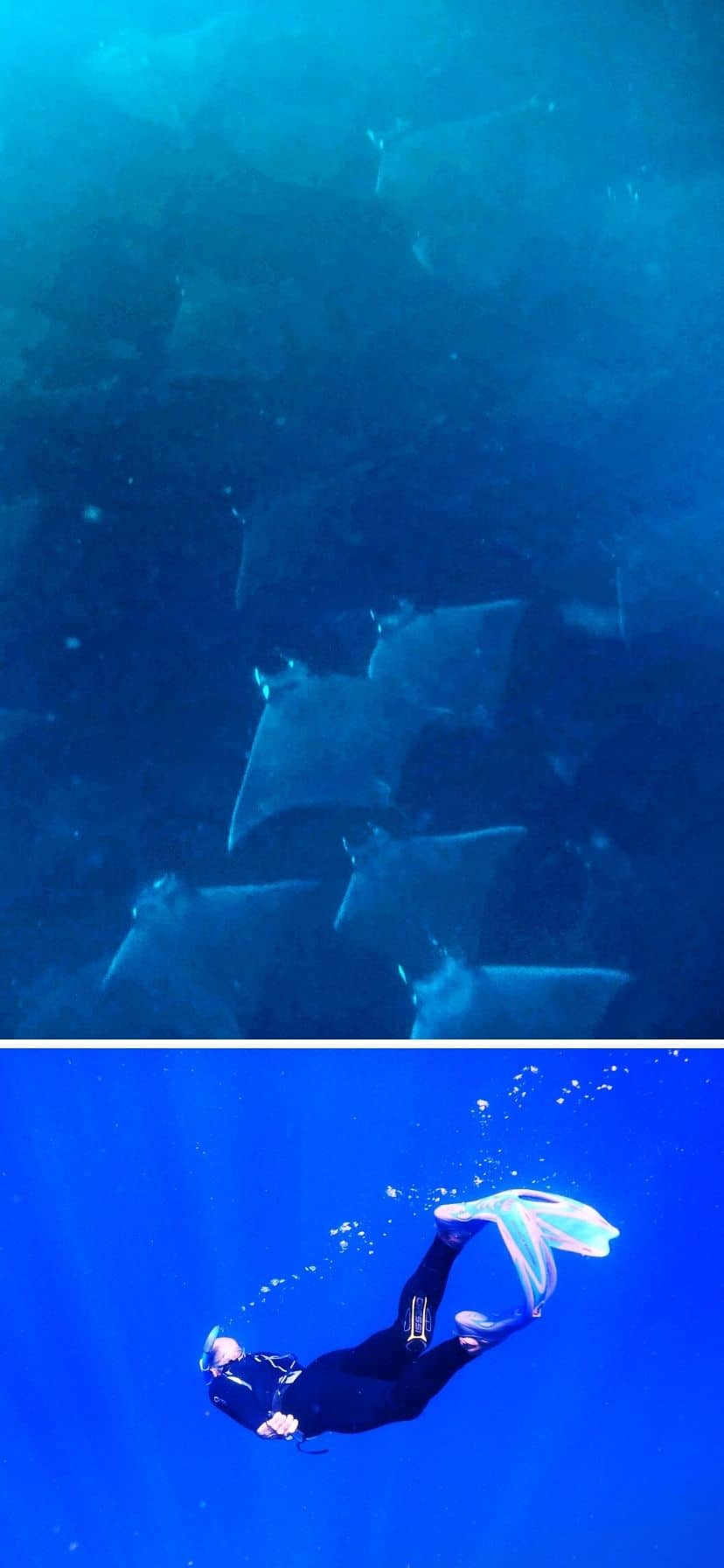 Mobula Rays underwater while free-diving and snorkeling off Cabo San Lucas