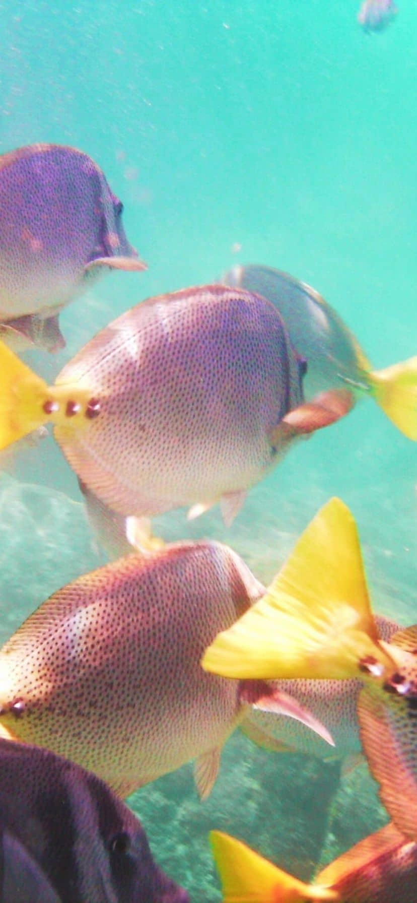School of Surgeon fish which snorkeling at Bahia Sant Maria, Cabo San Lucas