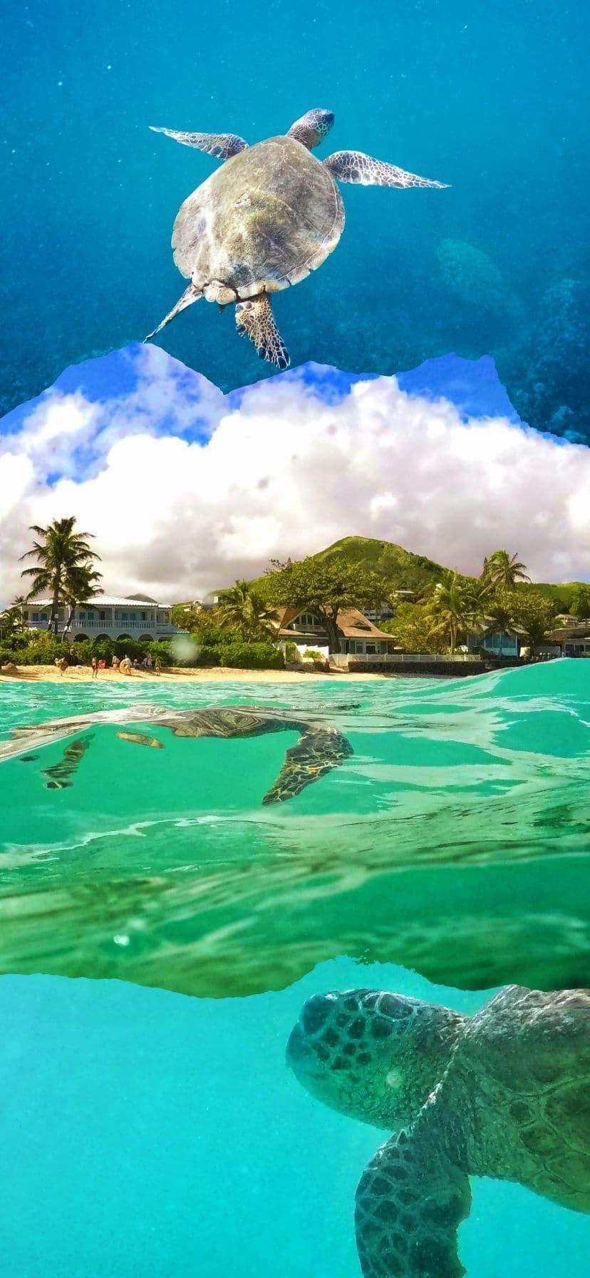 Hawaiian Green Sea Turtle Honu at Lanikai Oahu