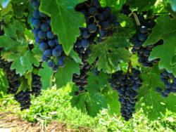 Wine grapes at Casa Larga Winery Rochester New York 1